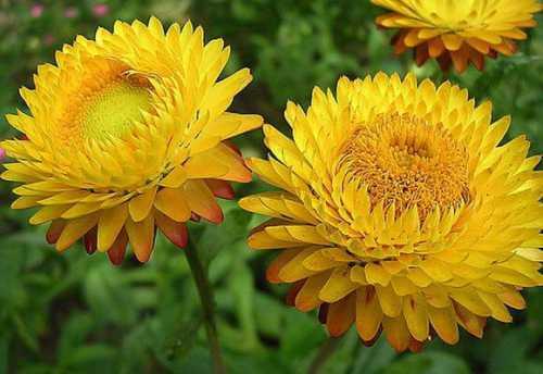 календула: лечебные свойства и противопоказания, мази, настойки